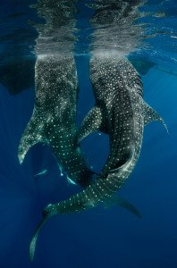 20150811_Whale_Shark_at_Bagan_1634
