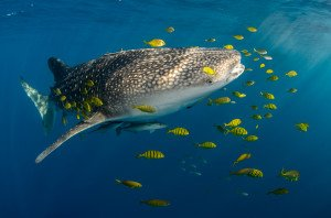 20150812_Whale_Shark_&_Golden_Trevally_3896