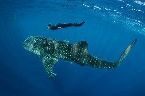 20150812_Whale_Shark_&_Renee_Bish_3707