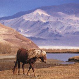 Un caballo trisca sin ataduras en la región del monte Altai de la Mongolia occidental.